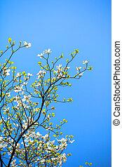 White flowering dogwood tree (Cornus florida) in bloom in...