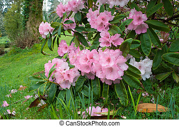 Budock Rhododendron - An image of a Budock Rhododendron in a...