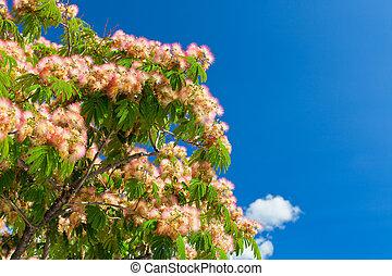 rosa, flor,  Acacia,  brunches, árbol