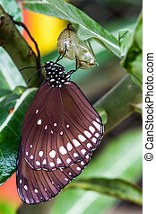 Butterfly emerged from cocoon - Butterfly Common lndian Crow...