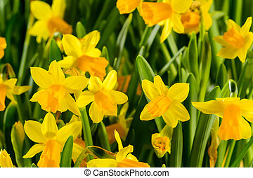 Spring flowers yellow narcissus
