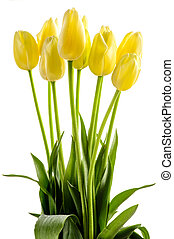 Yellow tulips flowers with long stalk isolated on white