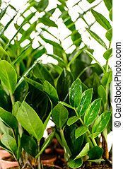 Zamioculcas zamiifolia potted house plant with green leaves