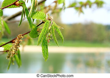 Green branch of a tree in spring, soft focus