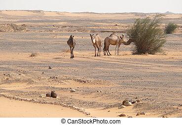 Camels in the Sahara desert.
