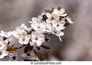 Plum Tree Blossom - Plum Tree Spring Flowers Blossom