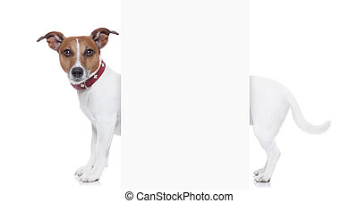very long dog - a very long white jack russel terrier with...