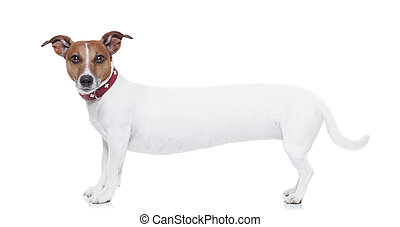 very long dog - a very long white jack russel terrier...