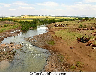 Ethiopian cows on watering the river. Africa, Ethiopia.