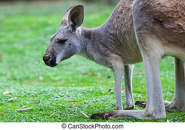 Single Kangaroo - A kangaroo grazes in the wild in Victoria,...