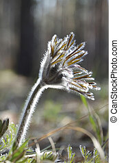 Pasqueflower . Spring forest flowers.