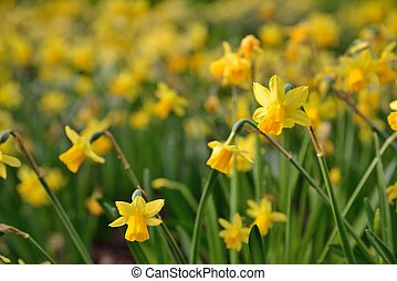 full blown narcissus flowers