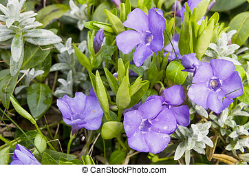 Campanula isophylla in bloom in the garden