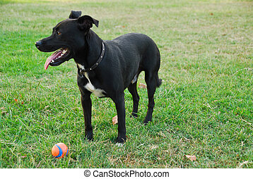 Black dog playing with ball