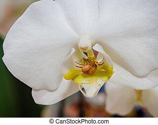 gusano, orquídea