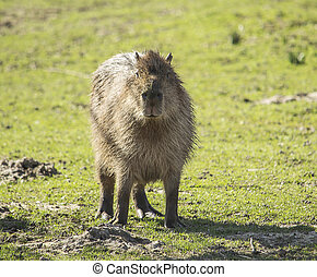Capybara - Image of a capybara on a green grass