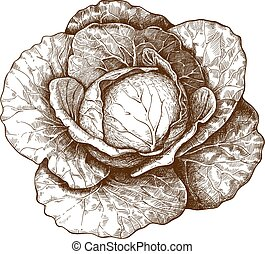engraving cabbage on white back - vector illustration of...