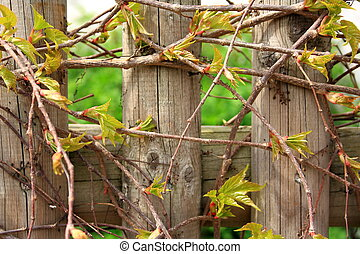 Wild grapes branches in spring as background, horizontal