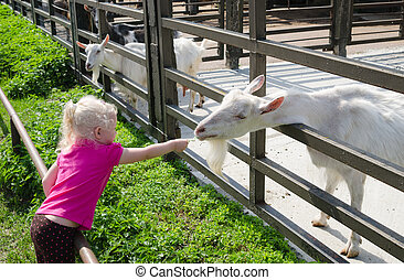 The little girl feeds goats on a farm