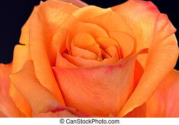 Peach Rose - Close up macro of a peach rose