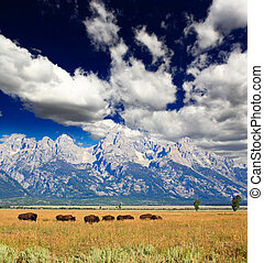 Bisons in Grand Teton National Park - Bisons at the Antelope...