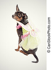 Chihuahua dog wearing a fairy costume and sitting ona clean...