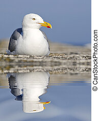 Gull with big reflection on water