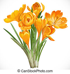 Spring yellow crocuses on the vine isolated on white...