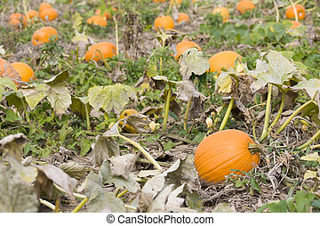 Pumpkin patch at a farm in rural Indiana