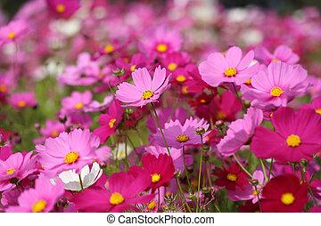 beautiful cosmos flower in field