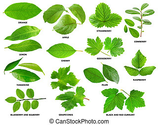Leaves of fruit and berry shrubs and trees - Collection of...