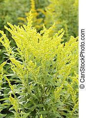 Canada Goldenrod. - Canada goldenrod (Solidago canadensis)...