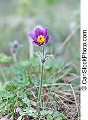 Pulsatilla - Pasque Flower (Pulsatilla patens) in...