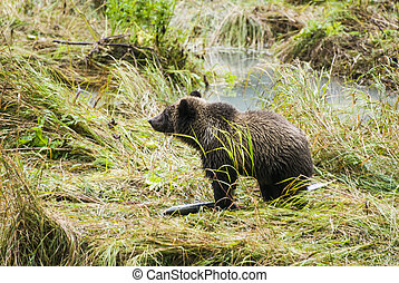 Baby Brown Bear - Enjoying Lunch - Animals In The Wild -...