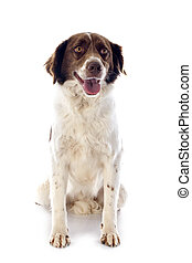 french spaniel - portrait of a french spaniel in front of...