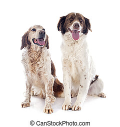 two spaniels in front of white background