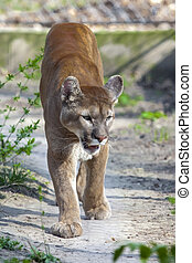 Cougar - A puma or cougar Puma concolor is coming