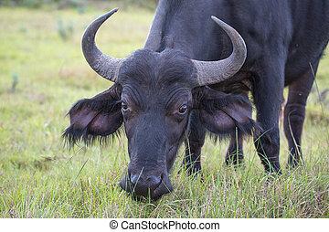 Female Cape Buffalo - Female or cow Cape buffalo with large...