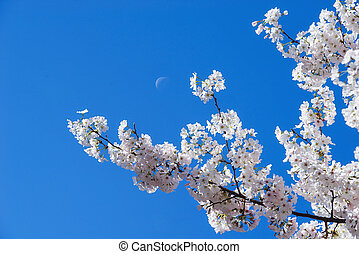 Cherry tree blossoms with the moon - White cherry tree...
