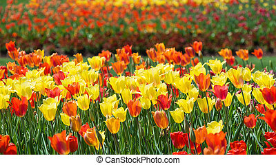 Flowerbed with yellow red tulips