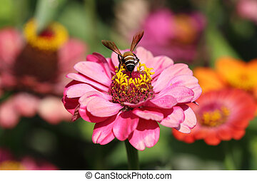 pink zinnia flowers and bee - red and pink zinnia flowers...