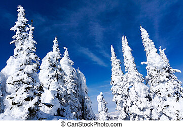 Snow Covered Pines
