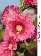 Pink hollyhock (Althaea rosea) blossoms - Pink hollyhock...