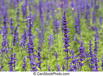 Lavender growing in garden - beautiful Lavender growing in...