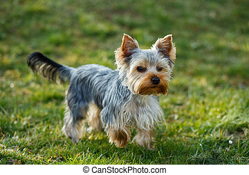 Cute small yorkshire terrier is running on a green lawn...