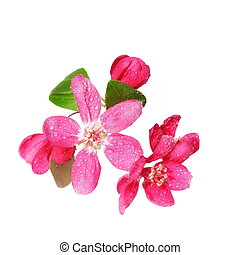 Red apple blossom isolated on white - Red apple blossom with...