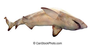shark. Isolated over white