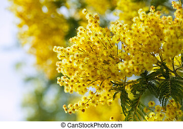 photo of yellow Acacia  branches against sky