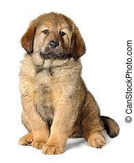 Puppy tibetan mastiff in front of white background and...