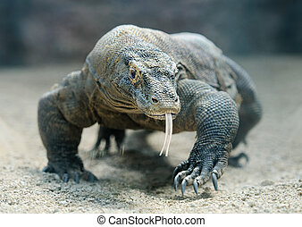 Komodo dragon - Komodo Dragon, the largest lizard in the...